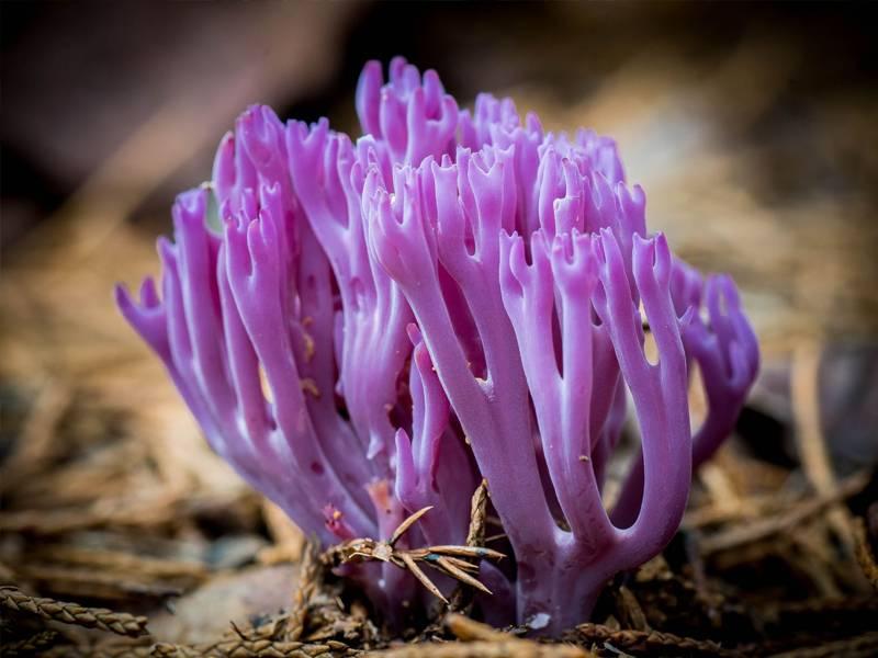Coral mushroom Clavaria zollingeri
