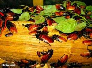 Scientists have Created a Battery of Cockroaches