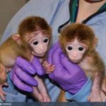 Born the First Monkey, Developed from Stem Cells of Separate Embryos