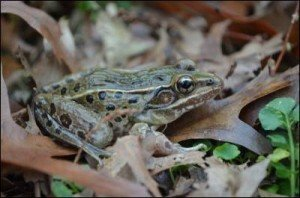 A New Species of Frog Discovered in New York