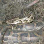 Rare Clouded Python Leopard Weighs 100kg Died of Lung Cancer